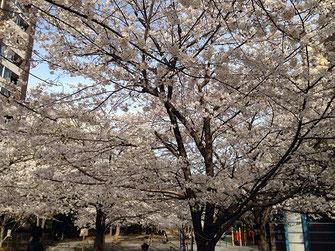 MASAMIさん:中央区八丁堀・桜川公園(3/31)