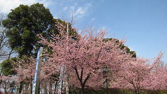 tyanmaruさん:密蔵院安行桜