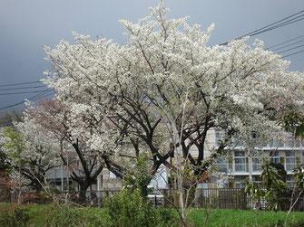 tyanmaruさん:玉川上水の小金井桜