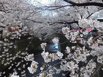 恵利子さん: 中目黒の桜