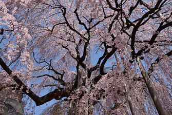八重垣写真館さん: 山梨県甲州市塩山 慈雲寺の糸桜