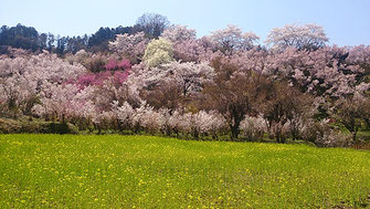 kayolinさん: 福島県福島市 花見山