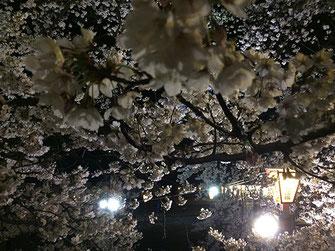 Oversさん: 柴田町さくら祭り