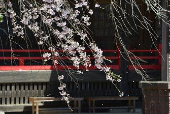 八重垣写真館さん: 山武市 妙宣寺のしだれ桜