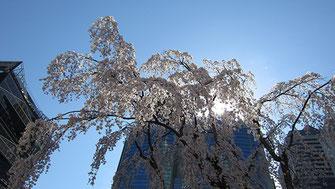 tyanmaruさん:赤坂サカスの三春桜