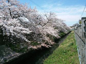 伊藤範昭さん:千葉県市川市・真間川の桜(4/6)