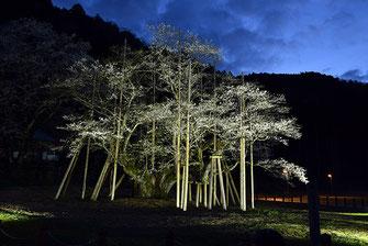 八重垣写真館さん:根尾谷の淡墨桜(ねおたにのうすずみさくら)
