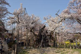 八重垣写真館さん: 山梨県北杜市武川町山高 実相寺 山高の神代桜