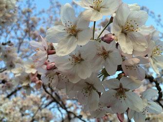 恵利子さん:桜どアップ