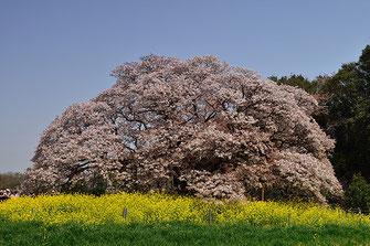 八重垣写真館さん: 吉高の大桜