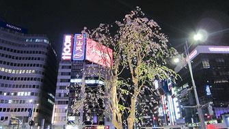 tyanmaruさん:東京駅八重洲口のシダレザクラ