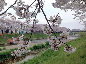 jpさん:埼玉県朝霞市黒目川の桜