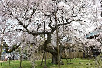 八重垣写真館さん: 茨城県龍ヶ崎市 般若院のしだれ桜