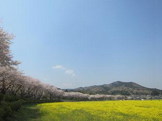 tyanmaruさん:巾着田の桜と菜の花