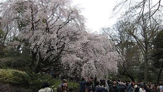 tyanmaruさん:曇天の六義園しだれ桜