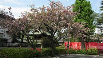 tyanmaruさん:武蔵野稲荷神社の八重桜