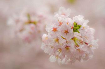 すばるαさん:桜色に染まる