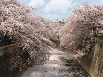 まさヤンさん:石神井川の桜