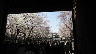 tyanmaruさん:靖国神社の桜