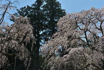 八重垣写真館さん: 山武市 長光寺のしだれ桜