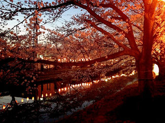 OL虹子さん:埼玉県草加市・葛西用水 桜並木(4/1)