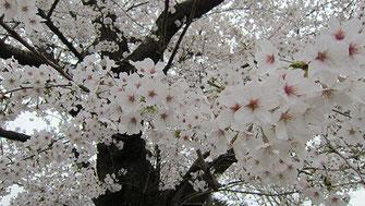 tyanmaruさん:多磨霊園で静かにお花見