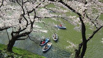 tyanmaruさん:北の丸公園の桜