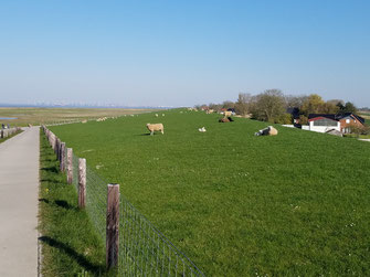 ... und auf dem Deich immer begleitet von Schaf