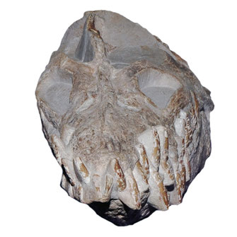 Libonectes atlasense skull frontal view