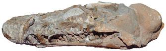 Libonectes morgani skull Stuttgart