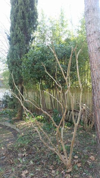 sylva-jardins-paysages.fr-Taille arbustive sur cépées de Lilas des Indes et Laurier sauce