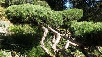 Juniperus tapissant formé en nuages