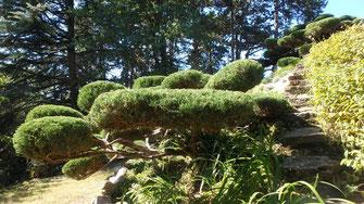 Juniperus taillé en nuages