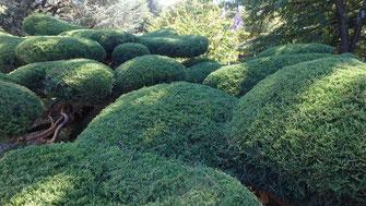 sylva-jardins-paysages.fr-Juniperus x media Pfitzeriana Aurea conversion par taille japonaise en nuages