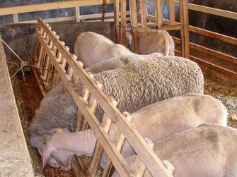 Merinolandschafe fressen im Stall aus der Raufe.