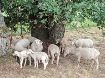 Merinoland-Lämmer geringe Gewichtszunahme auf der Weide