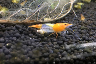 Orange Rilli Garnele