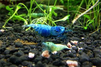 Blue Bolt Caridina Garnele