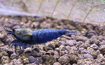 Blue Shadow Mosura