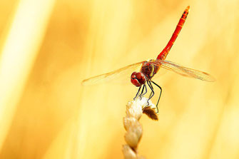 Libelle im Garten garden croatia kroatien Simon Knittel Fotograf Maulbronn Foto