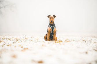 Hund Dog Simon knittel Fotograf Maulbronn Schnee Snow Terrier AirDale AirDaleTerrier