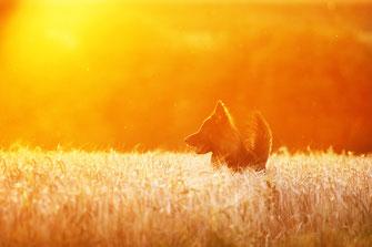 Schäferhund  Hund Dog Sonnenuntergang simon knittel fotograf maulbronn foto