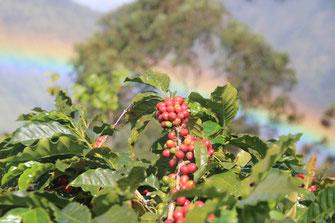 Reife Kaffeekirschen am Baum