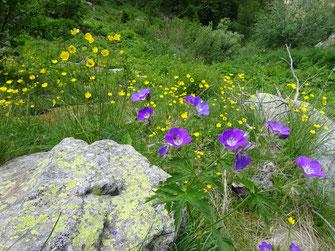 Géraniums sauvages et renoncules