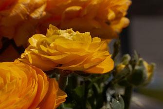 Ranunkeln orange ©Jutta M. Jenning ♦ www.mjpics.de