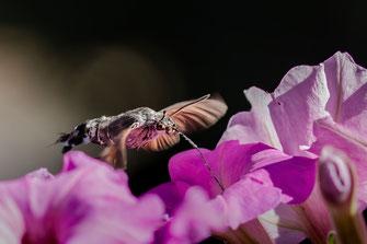 Taubenschwänzchen an Petunien