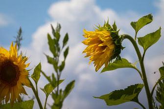 Sonnenblumen im Wind © mjpics.de