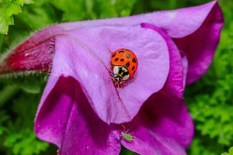Marienkäfer auf dem Weg zur Blattlaus-Petunienblüte makro