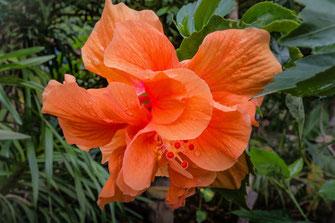Orangefarbene Hibiscusblüte in Malaysia