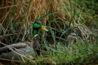 Entenpaar im Gras www.mjpics.de